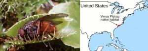 carolina bays venus venus's flytraps fly traps venuses area from map location