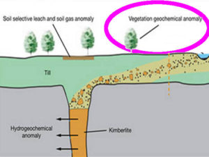 diamonds trees plants indicators Pandanus candelabrum