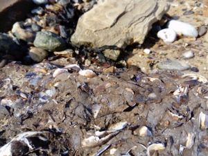 shell heap middens