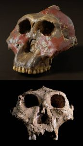 Paranthropus robustus Homo Platypus