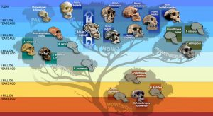 Homo naledi, Paranthropus robustus, Platypus evidence