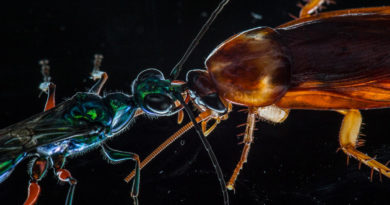 zombie insects emerald cockroach wasps