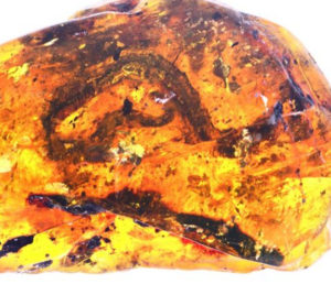 fossils amber snakes