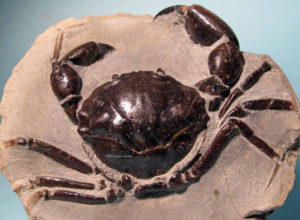 fossilized thunder crabs
