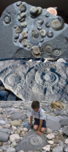 Jurassic Coast fossilized Ammonites