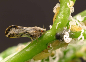 accessing Akashic records asian citrus psyllid insects vectors