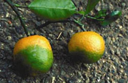 Akashic records Yellow Dragon Disease citrus fruit