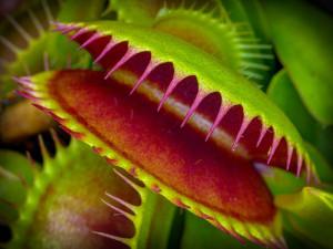 carolina bays venus flytraps evolution