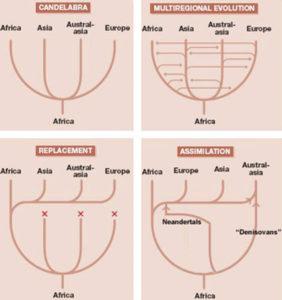 Polycentric multiregional hypothesis Franz Weidenreich