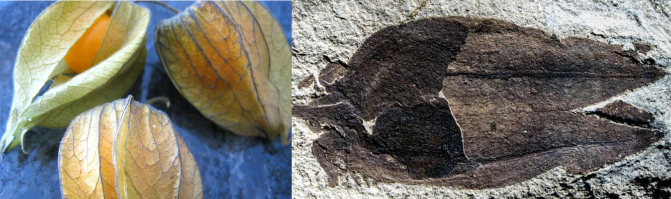 fossils coal fruits lantern Physalis infinemundi