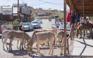 ghost gold towns oatman wild donkeys