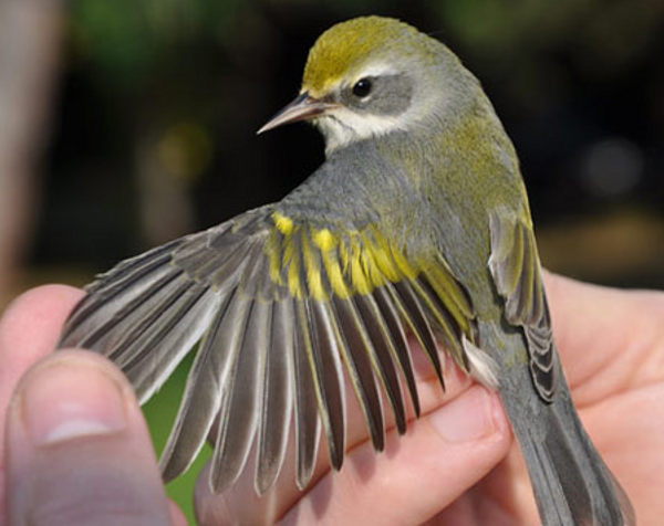 golden winged warblers sense natural disasters tornado