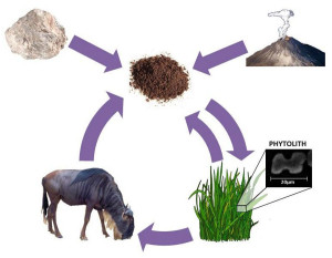 bilogical transmutations silicon silica phytolith grazing animals